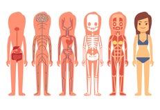 Medizinische Frauenkörperanatomie-Vektorillustration Skelett-, muskulöse, zirkulierende, nervöse und Verdauungssysteme Lizenzfreie Stockfotografie