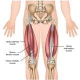 Medizinische Illustration der Oberschenkelmuskelmuskel-Anatomie 3d lizenzfreie abbildung