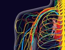 Medizinische Illustration der Schulteranatomie mit den Nerven, Adern und Arterien, usw. stock abbildung