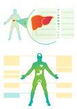 Medizinische Informationgraphik der Leber Medizinische Vectorinfographik Lizenzfreies Stockbild