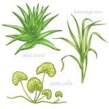 Medizinische Kräuter Aloe Vera, Lemongras, gotu Kolabaum set Stockfotos