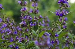 Medizinische Kräuter: Weiser Strauch mit grünen Blättern und purpurroten Blumen wächst im Garten nahe bei dem Kirschbaum lizenzfreie stockbilder