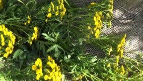 Medizinische Kraut Anlage von Tansy Tanacetum vulgare Trockner auf Leinwand stock footage