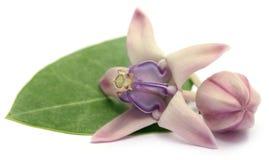 Medizinische Kronenblume stockbilder
