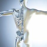 medizinische Männerfigur 3d mit dem Skelett Stockfotografie