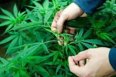 Medizinische Marihuanaanlagen mit den Händen Stockfotografie