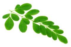 Medizinische Moringa-Blätter Lizenzfreies Stockfoto
