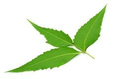 Medizinische neem Blätter Stockbilder