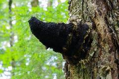 Medizinischer Chaga-Pilz, der auf Suppengrün wächst Stockbilder