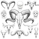 Medizinisches Bild gravierte Hand gezeichnet in alte Skizzen- und Weinleseart Schädelsatz oder -skelett Stier- und Gebirgsziege stock abbildung