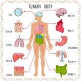 Medizinisches demographisches des menschlichen Körpers Stockbilder