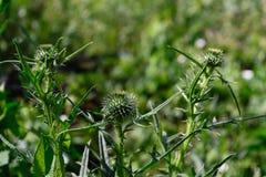 Medizinisches Kraut, blühender weicher Hintergrund der Blumen stockfotos