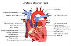 Medizinisches menschliches Herz Stockfotografie