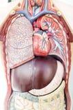 Medizinisches Modell der menschlichen Anatomie Stockfoto