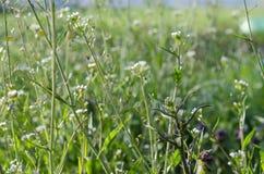 Medizinisches plant-Shepherd' s Tasche-wächst im Frühjahr Garten lizenzfreie stockbilder