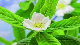 Medlar Blossoming stock video footage