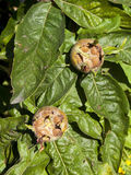 Medlar fruit Stock Images