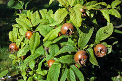 Medlar or Mispel Royalty Free Stock Photos