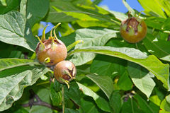 Medlar - rare fruit with excellent taste Royalty Free Stock Image