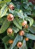 Medlar Tree Stock Photography