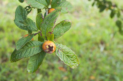 Medlar on tree branch and green leaves. On green background Stock Photo