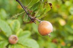 Medlar on tree branch and green leaves. On green background Stock Image