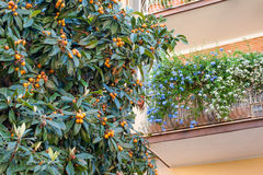 Medlar tree branch with ripe fruits near house. Medlar tree branch and ripe fruits with house balcony decorated with flowers stock photo