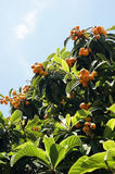 Medlar on the tree. The fruit on the tree medlar Stock Photo