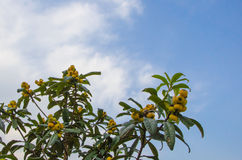 Medlar. Tree and fruits Royalty Free Stock Images
