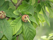 Medlar on the tree. In the garden Royalty Free Stock Images