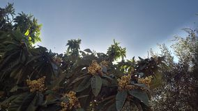 Medlar Tree and Honey Bees Collecting Nectar stock video footage