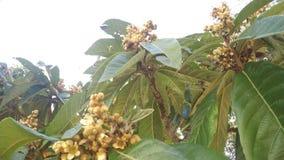Medlar Tree and Honey Bees Collecting Nectar stock video