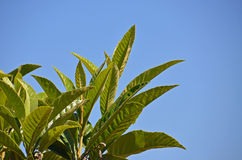 Medlar-tree leafs. On the sky background Royalty Free Stock Image