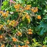 Medlar tree with ripe fruit Stock Photos