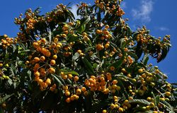 Medlar tree with ripe fruits. Medlar tree with numerous ripe fruits ready to collect and blue sky background stock photo