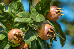 Medlars Royalty Free Stock Photography