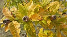Medlars in fruit tree. Tree in the garden Stock Images