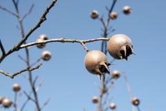 Medlars on the tree Stock Image
