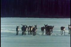 Medlem av flocken av karibu som faller in i is på sjön stock video