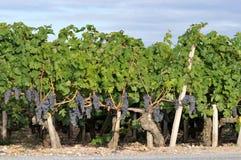 Medoc vingårdar i söderna av Frankrike royaltyfri bild
