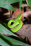 Medoggreenpit-viper crawl on a trunk Stock Photography