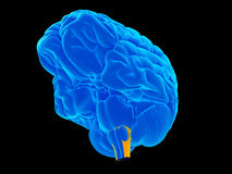 The medulla oblongata. Medically accurate illustration of the medulla oblongata Stock Image