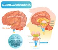 Medulla oblongata vector illustration. Labeled diagram with ventral view. Medulla oblongata vector illustration. Labeled diagram with ventral view and core stock illustration