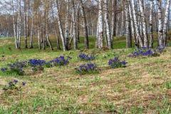 Medunica florece el abedul azul Pulmonaria de la primavera Fotografía de archivo libre de regalías