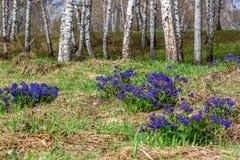 Medunica florece el abedul azul Pulmonaria de la primavera Foto de archivo