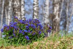 Medunica flowers blue spring birch Pulmonaria Royalty Free Stock Photos