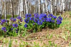 Medunica flowers blue spring birch Pulmonaria Stock Photo