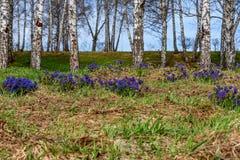 Medunica flowers blue spring birch Pulmonaria Stock Photos
