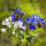 Medunits herb (Latin Pulmonaria mollis) Royalty Free Stock Photography
