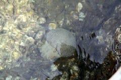 A medusa é Aurelia Flamengo dos celentrados Fotografia de Stock